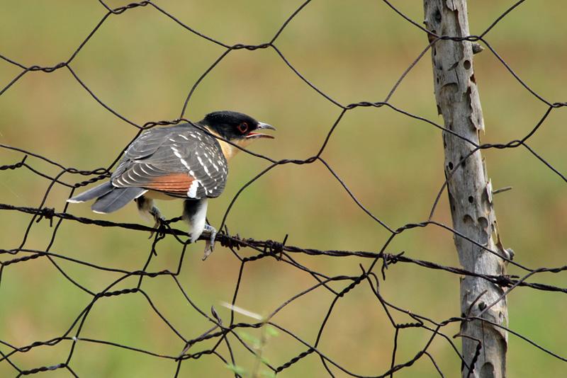 The cuckoo's call
