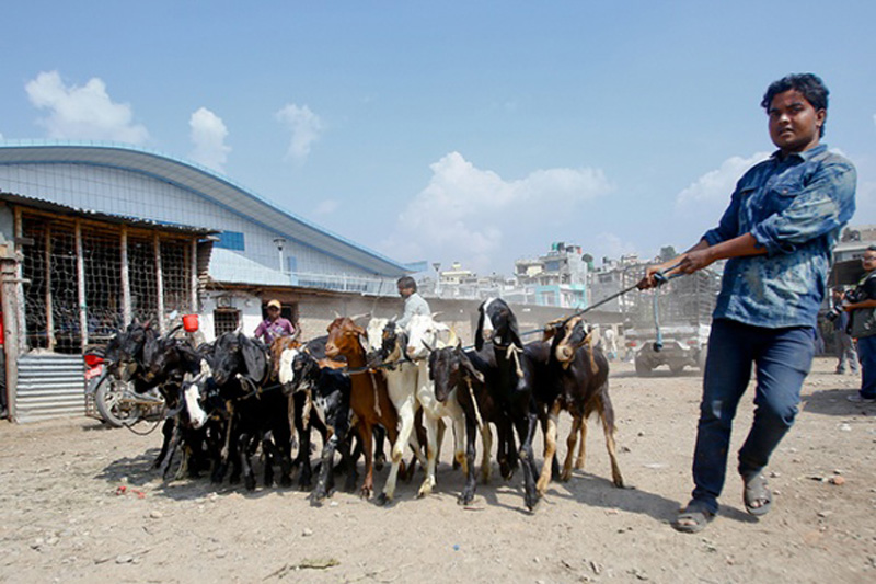 Surplus local goat production expected to stabilize price of goat meat during Dashain