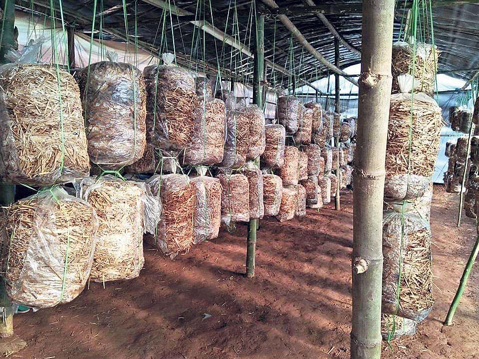 Dhading women attracted to mushroom farming