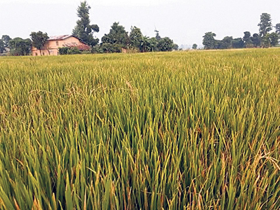 Faulty paddy seeds haunt far-west farmers
