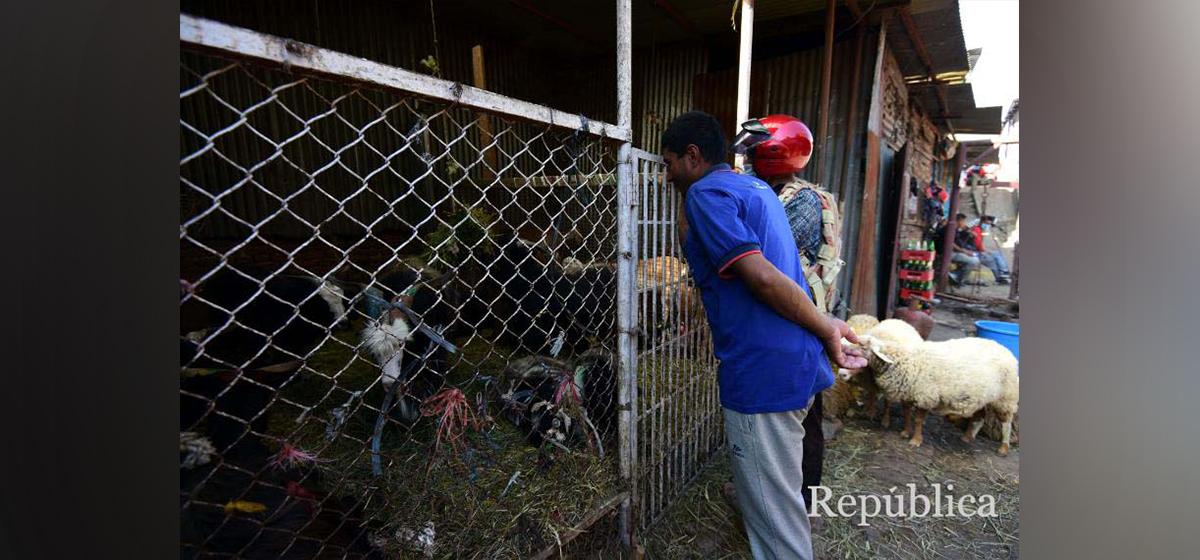 PHOTOS: Kathmandu's goat market has fewer buyers this Dashain