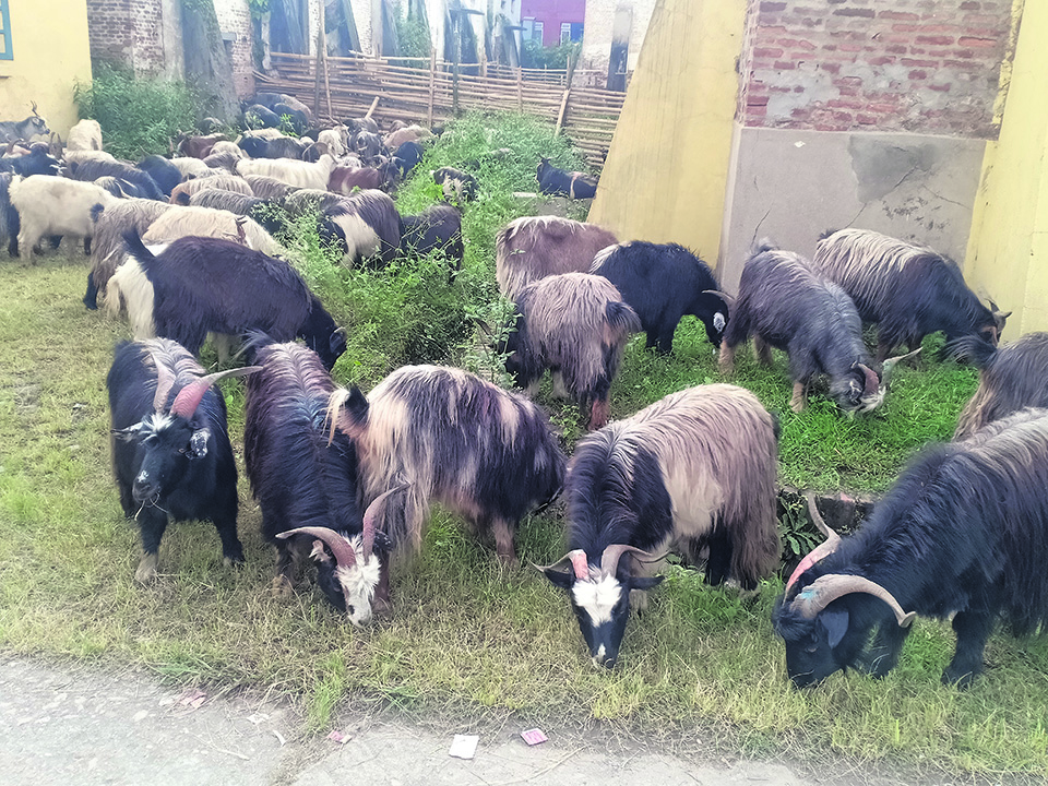 FMTC selling remaining mountain goats  at discounted prices
