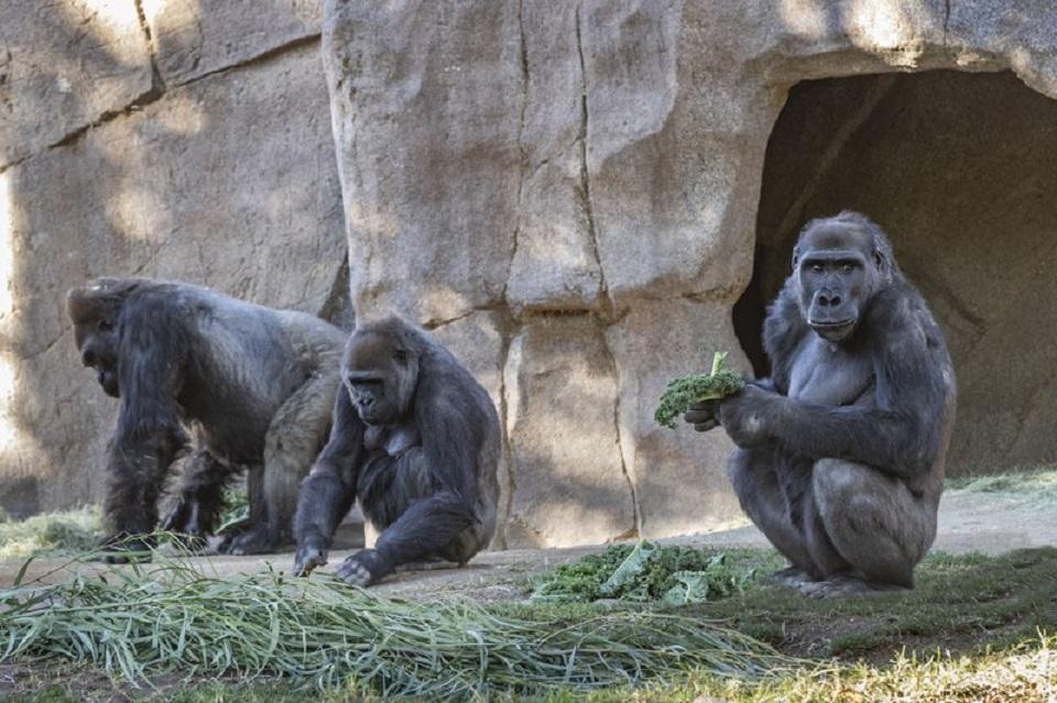 COVID-19 infections spread through gorillas at Atlanta zoo