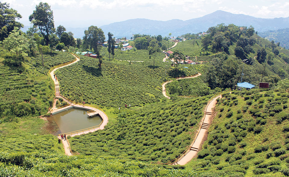 Lack of conservation area for rare tea plant