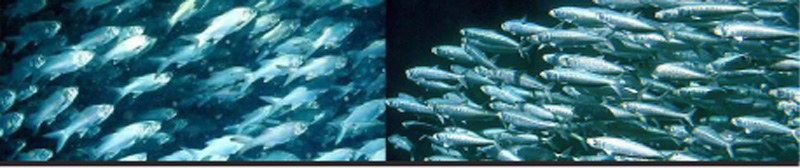 sci 275 declining fish stock Declining fish stock whitney deisher august 29, 2010 michael hammond-todd sci/275 the video declining fish stock vlr is about the declining numbers of fish stock that is available in the oceans.