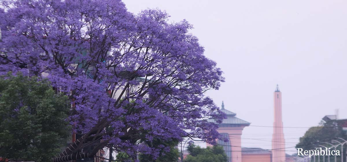 Jacaranda blooms at its best beautifying heart of Kathmandu (photo feature)