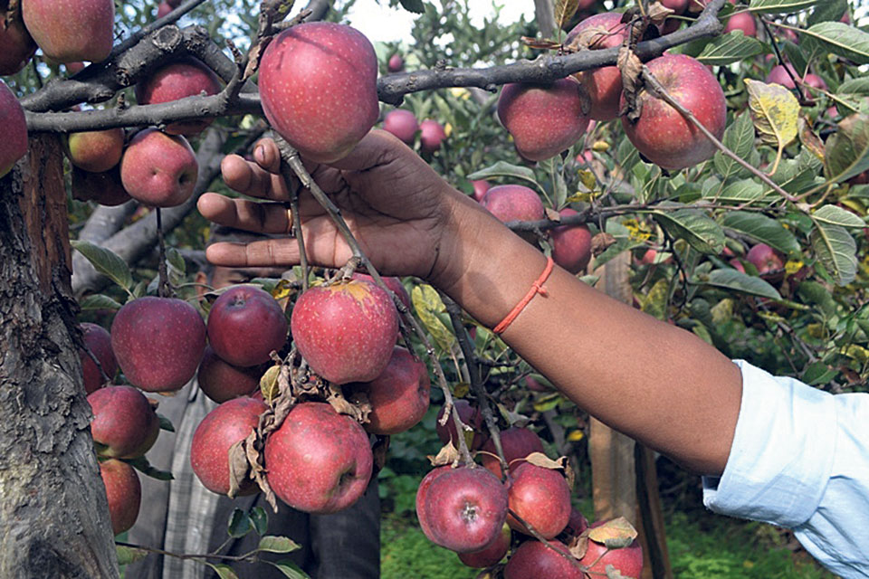 Apple production area in Jumla continues to expand