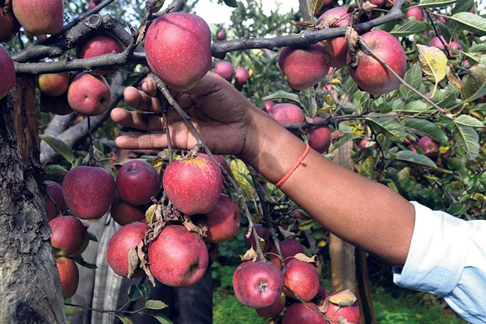 Apple farming in Karnali paving way for prosperity