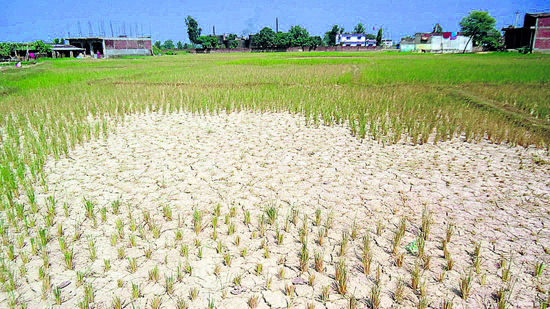 Drought hits rice plantation in Banke
