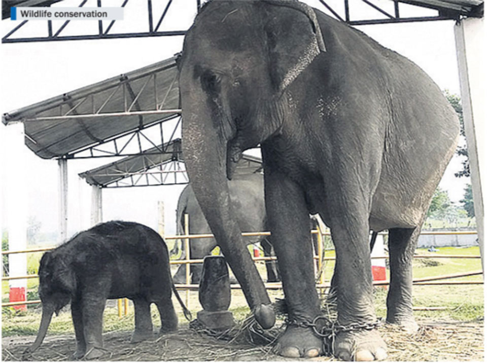 Koshi Tappu Wildlife Reserve gets a new elephant calf, officials cautiously optimistic of its survival