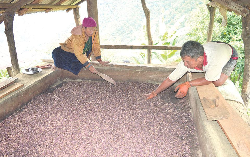 Cardamom farmers' incomes fall by Rs 80 million