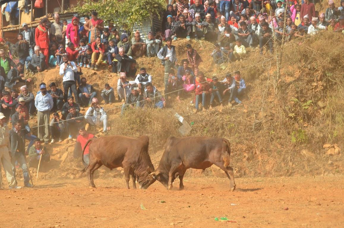 Battle of horns (Photo feature)