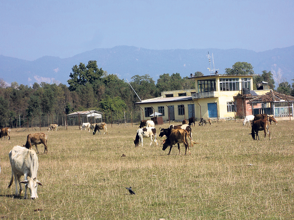 Airport turns into grazing ground for cattle