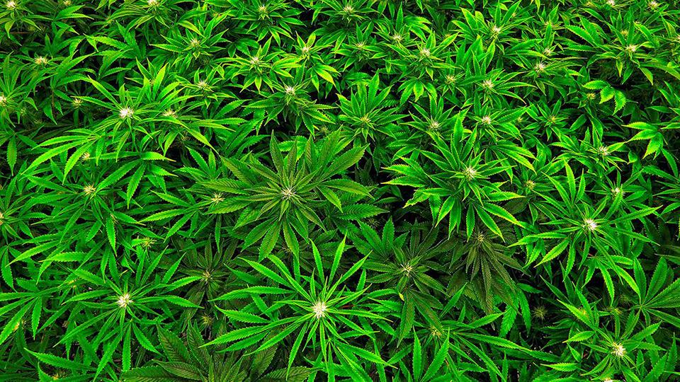 Two held with 48 kg marijuana