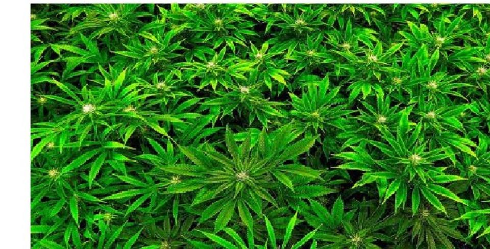 What we should know about Cannabis legalisation and decriminalisation