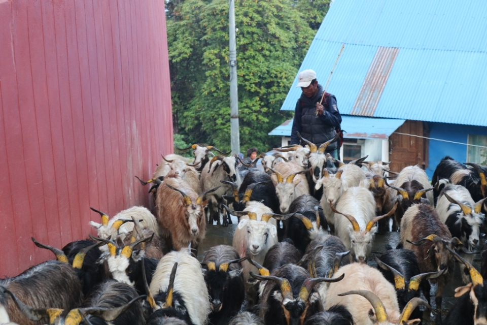 Mountain goats priced at Rs 30,000 in Mustang, traders blame middlemen