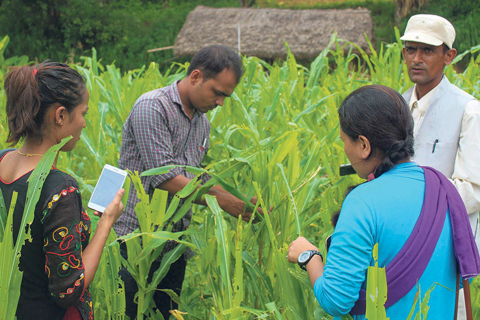 Fall armyworm becomes a nuisance for Province 1 farmers