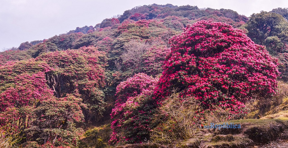 IN PICS: Rhododendron forest remains silent amid COVID-19 lockdown in Panchthar