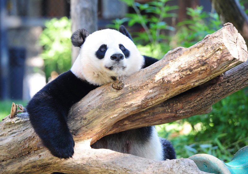 Survey finds giant pandas no longer 'endangered' in China