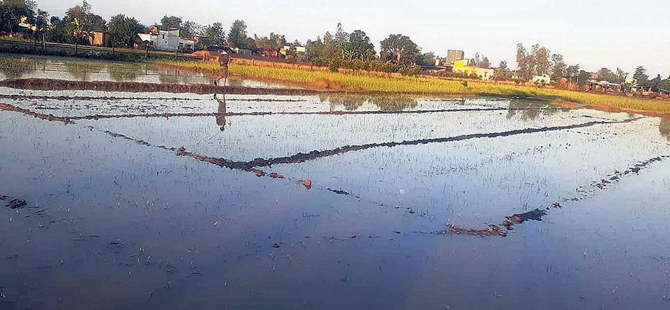 Potato farmers to incur losses of Rs 1 billion due to winter rains