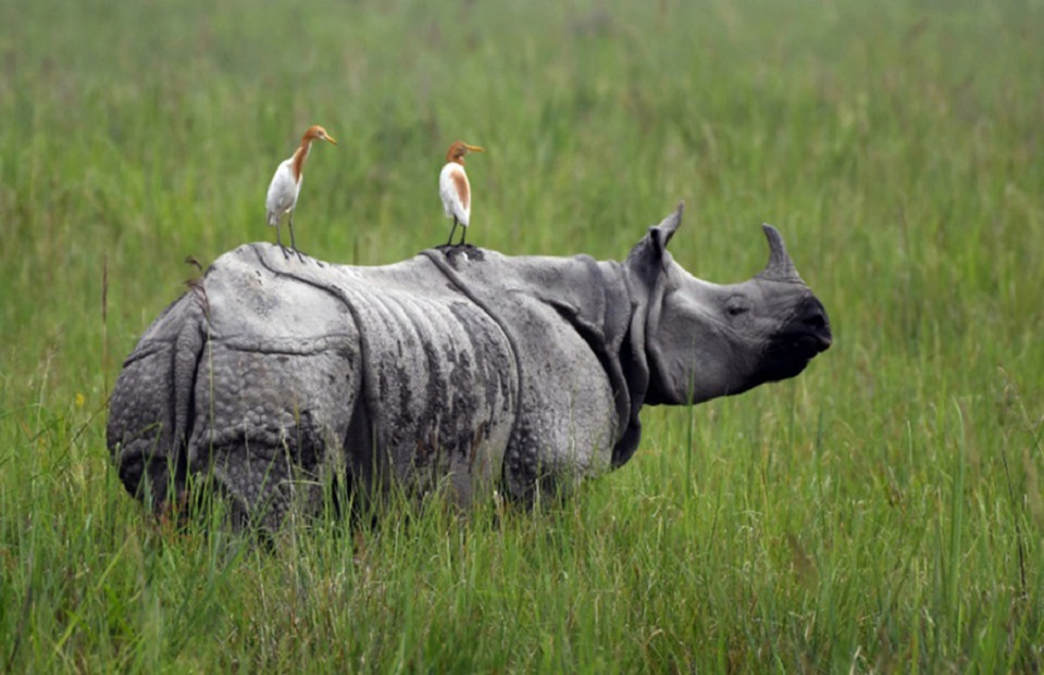 Rhino horn found inside Chitwan National Park