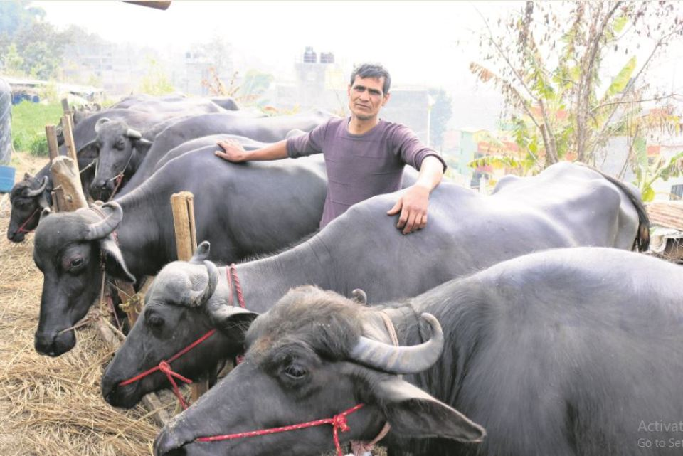 A buffalo farmer in Bhaisepati