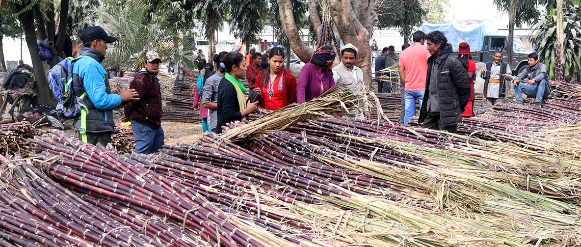 Consumption of sugarcane increases during Maha Shivaratri