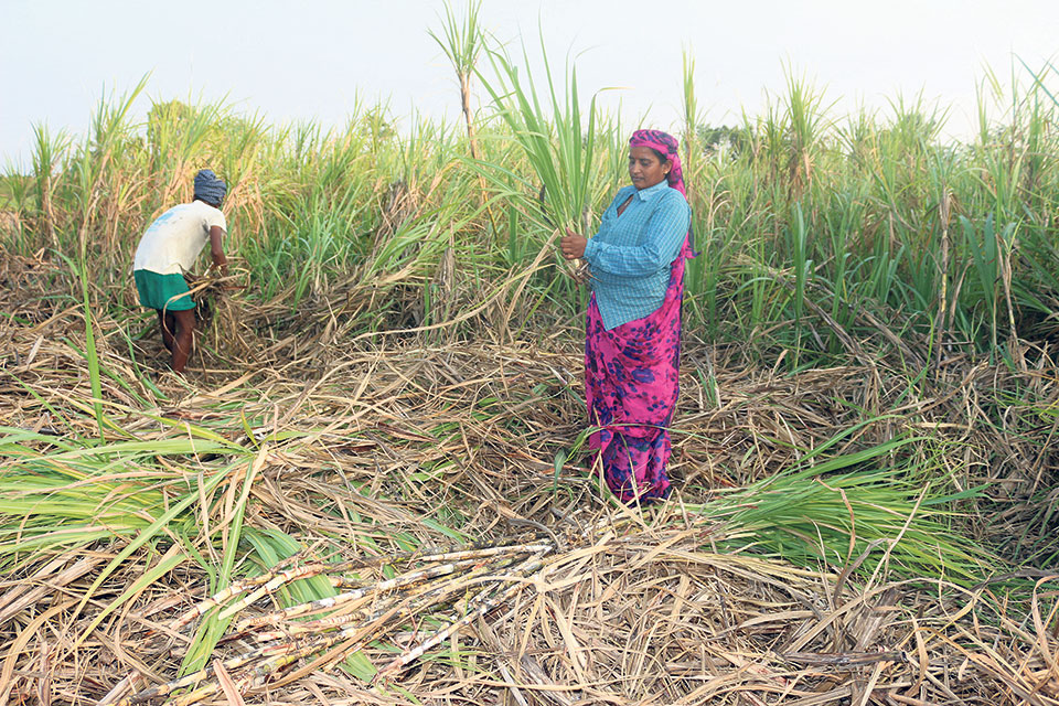Sugar mills facing raw material shortage as farmers decide not to grow sugarcane for not receiving payment