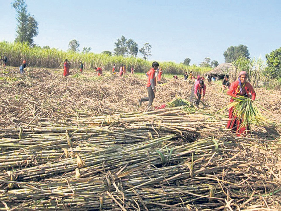 Farmers at receiving end as govt drags feet on sugarcane price