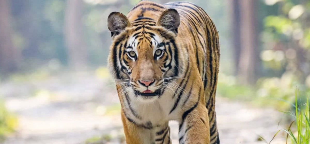 Conservationists say tigers have been living in Kailali forests for a long time