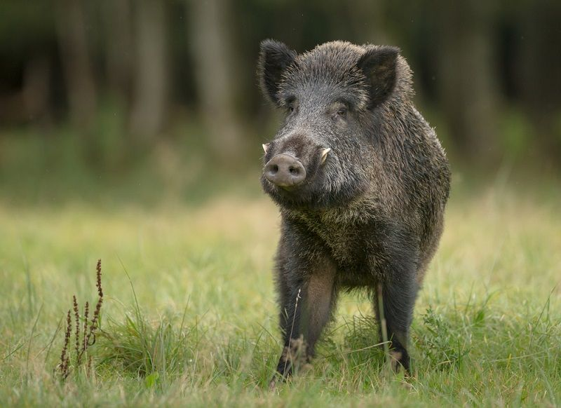 Four injured in wild boar attack in Dang