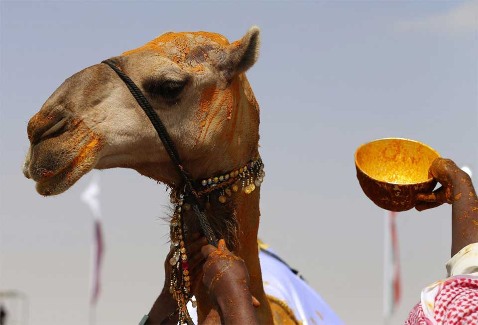 This camel won a beauty contest in the United Arab Emirates in 2016 and was covered with saffron in celebration