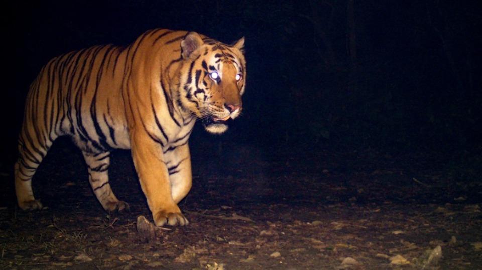 Tiger attack claims life of woman in Badiya