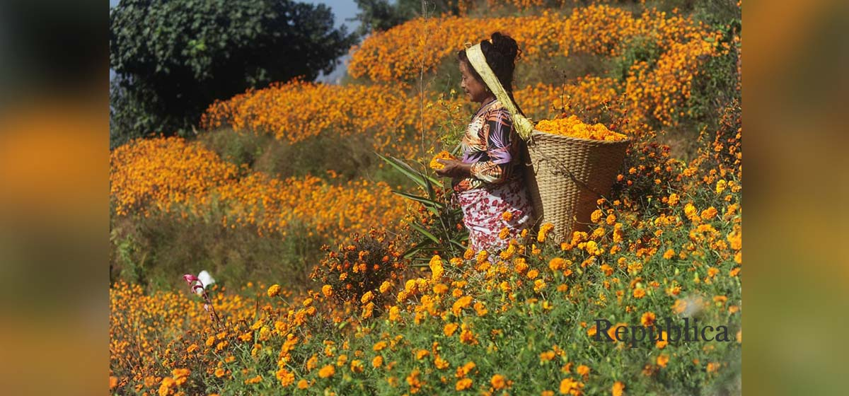 IN PICS: Farmers busy picking marigold as Tihar festival begins