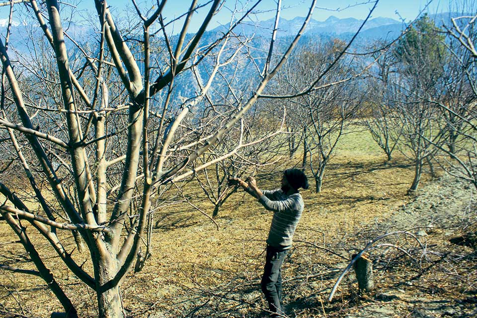 Lack of rain and snowfall affects apple production