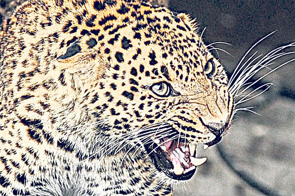 Leopard attacks kill 11 children in 5 years