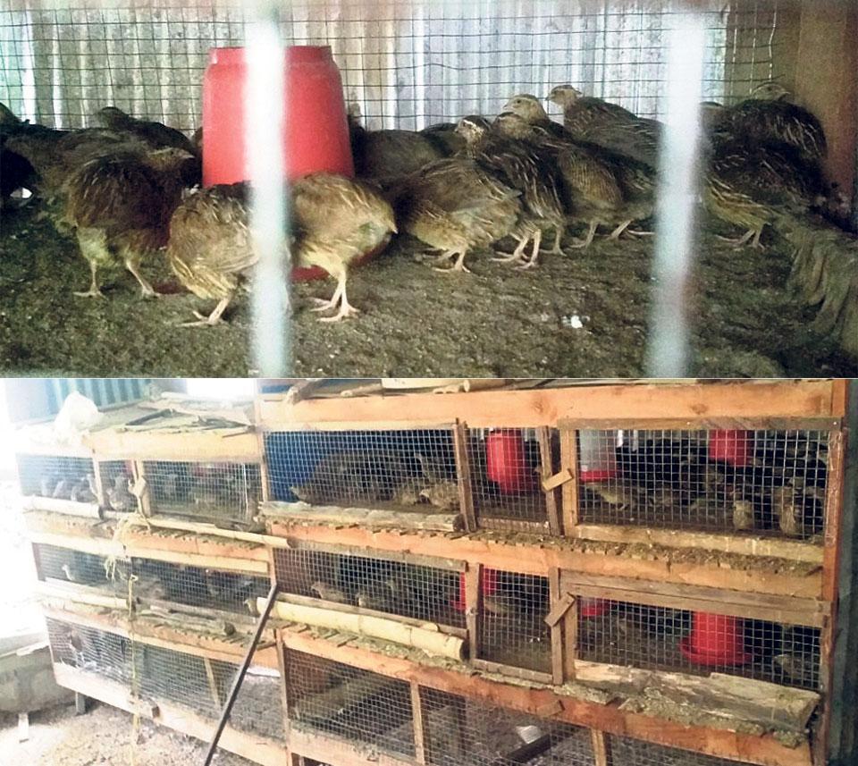 Dhading farmers turn to quail farming
