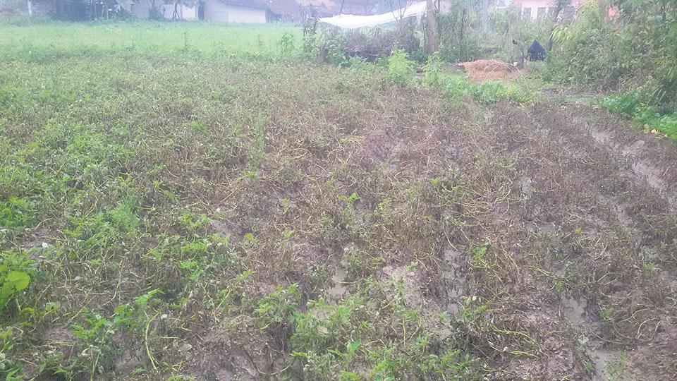Blight, cold wave damage potato plants in Kailali, Kanchanpur