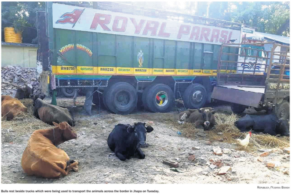 Police impound 4 trucks transporting bulls illegally to India