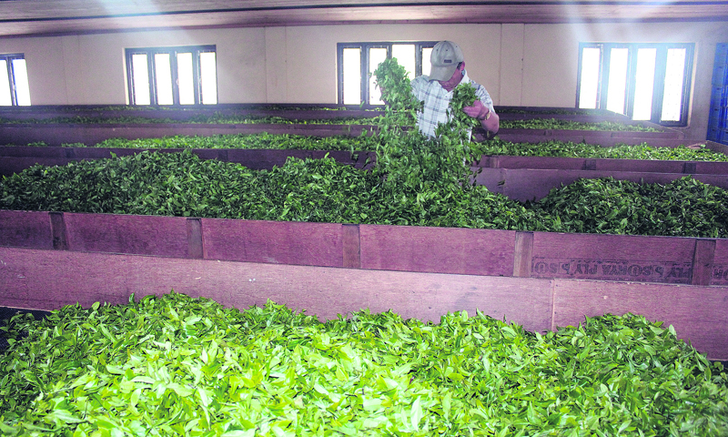 Better yield brings joy to tea estates