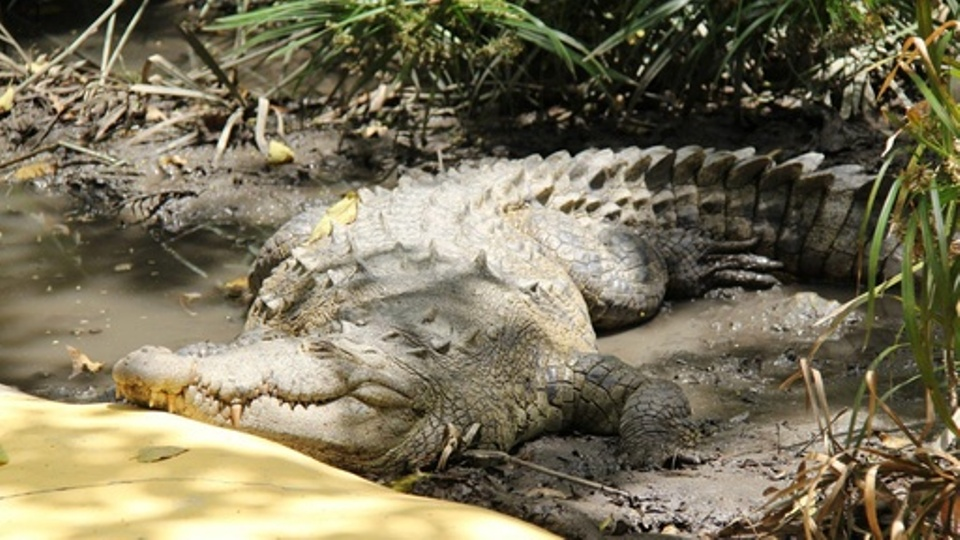 Crocodile found in Saptari