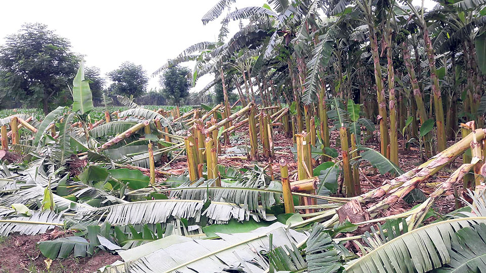 Vandals arrested for ravaging banana farm