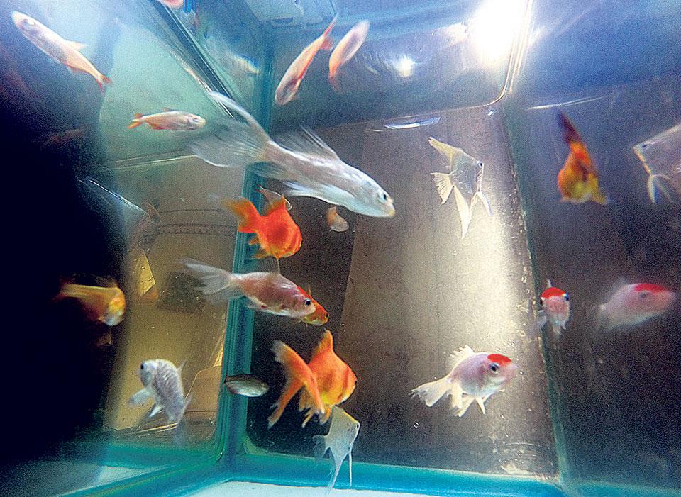 Ornamental Fish High In Demand My Republica