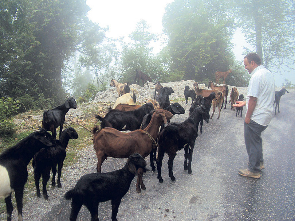 Goat farming changes lives of Baitadi farmers