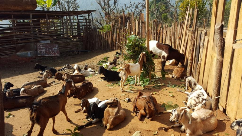 One youth in Gulmi earns more than  Rs 100 ,000 monthly from goat raising