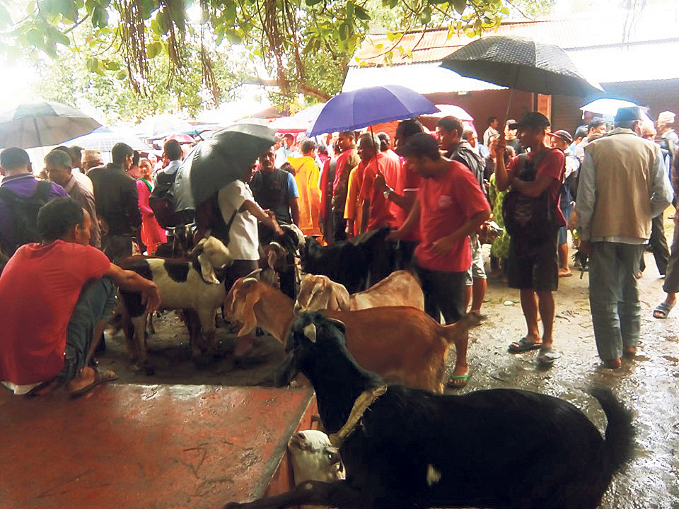 Goat price goes up as Dashain nears