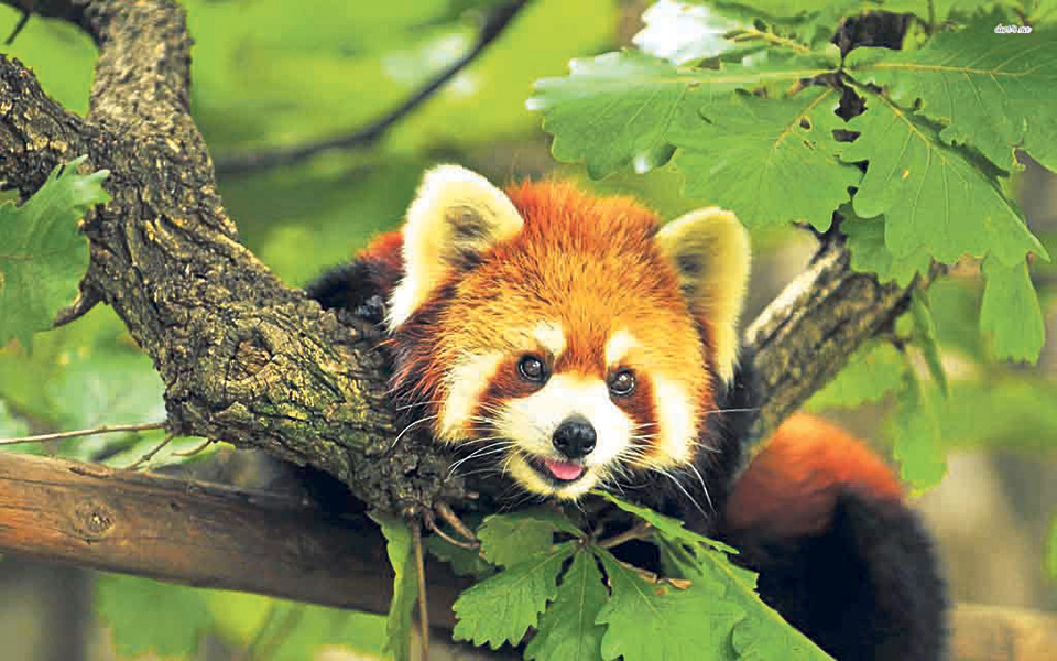 Image of: Wwf Hunters Of Red Pandas Start Protecting The Endangered Species My Republica Nagarik Network Hunters Of Red Pandas Start Protecting The Endangered Species My