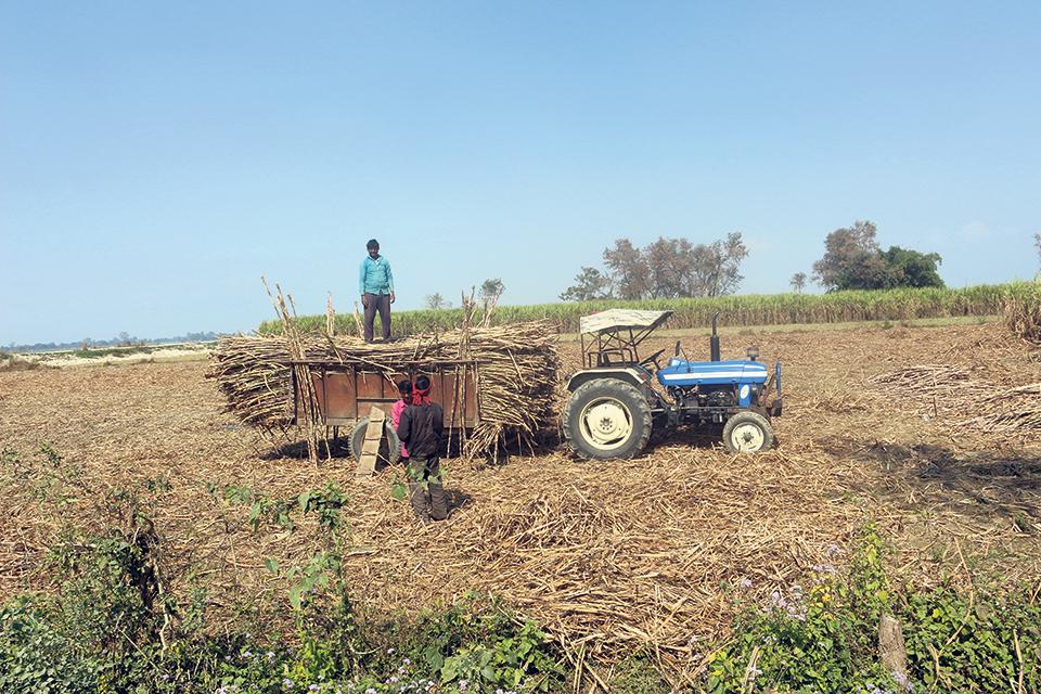 Nawalparasi sugarcane farmers still await payments worth Rs 190 million