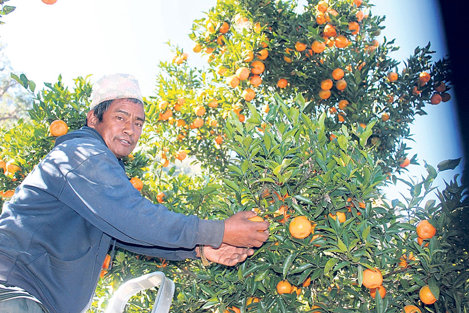 Traders reach farm to book oranges