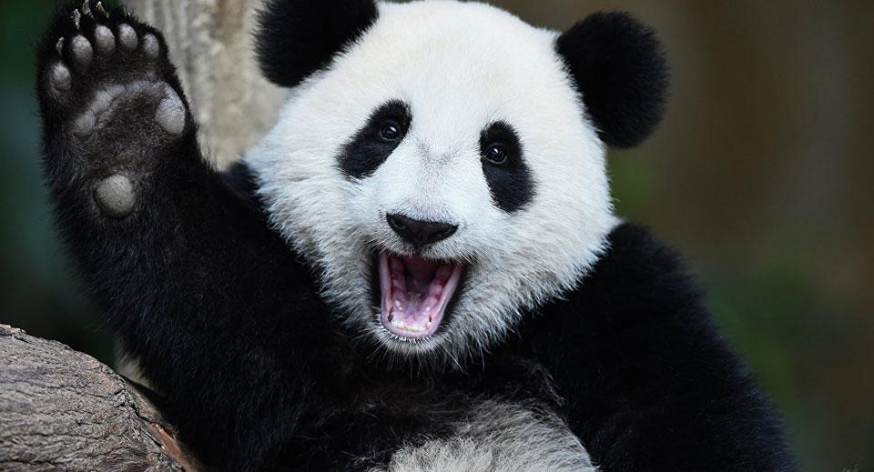 Giant Panda no longer threatened with extinction - Chinese Naturalists